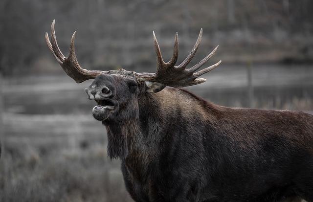 moose-602659_640
